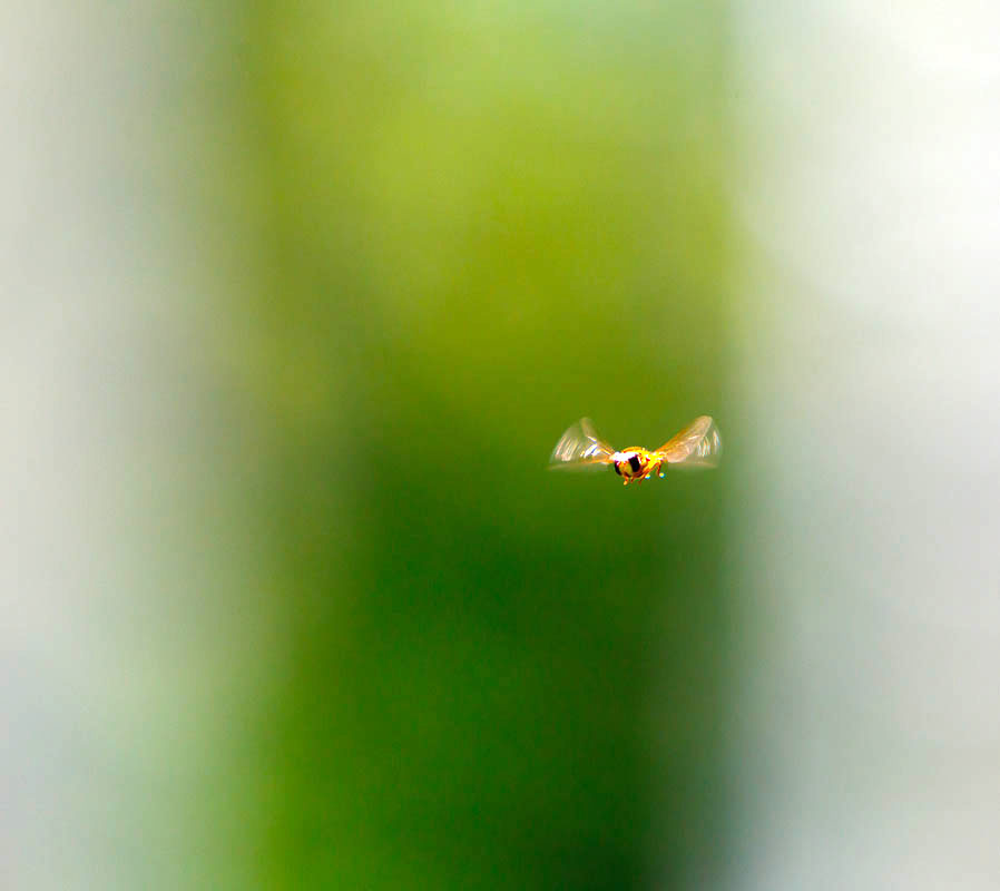 hovering fly
