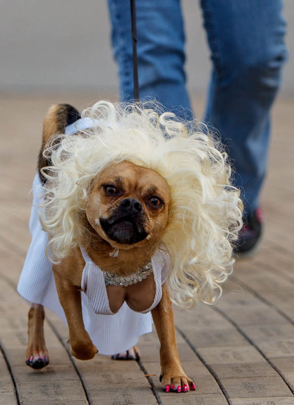 Marley is Marilyn Monroe at a pet costume contest hosted by radio station Mix 107.9 in Salt Lake City Thursday October 24, 2013